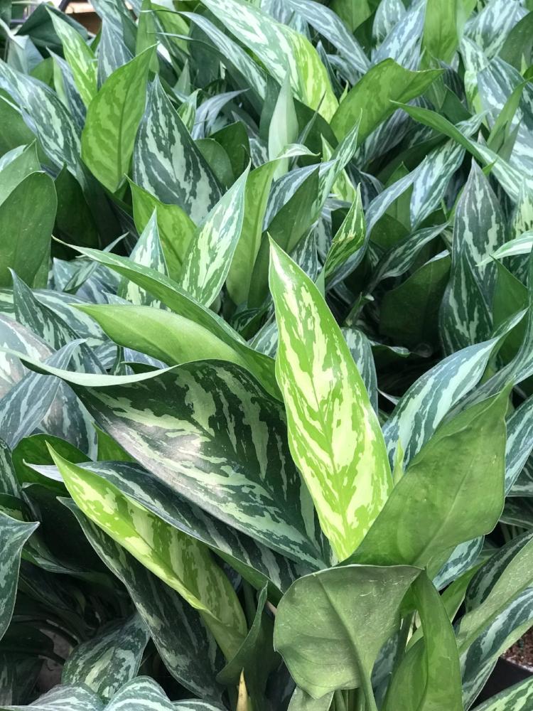 chinese evergreen - Aglaonema modestum