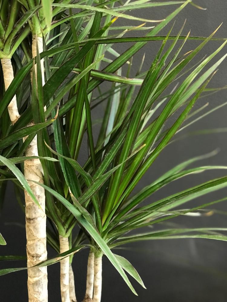 Dragon tree - Dracaena marginata