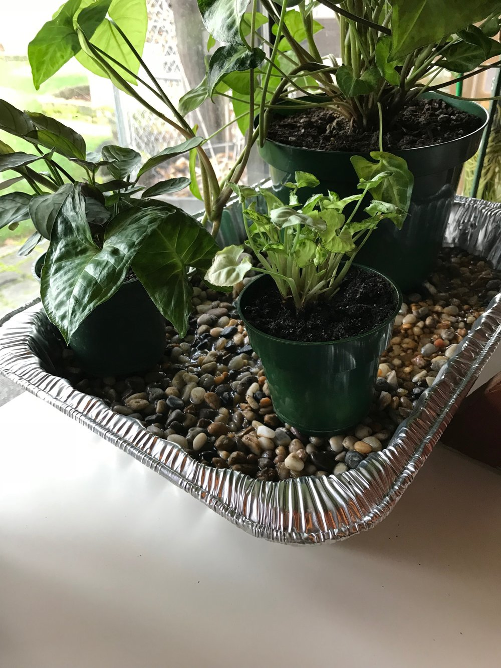 pebble tray - Add water to the level of the pebbles, but not above. Evaporation increases humidity. Photo credit Jen D.