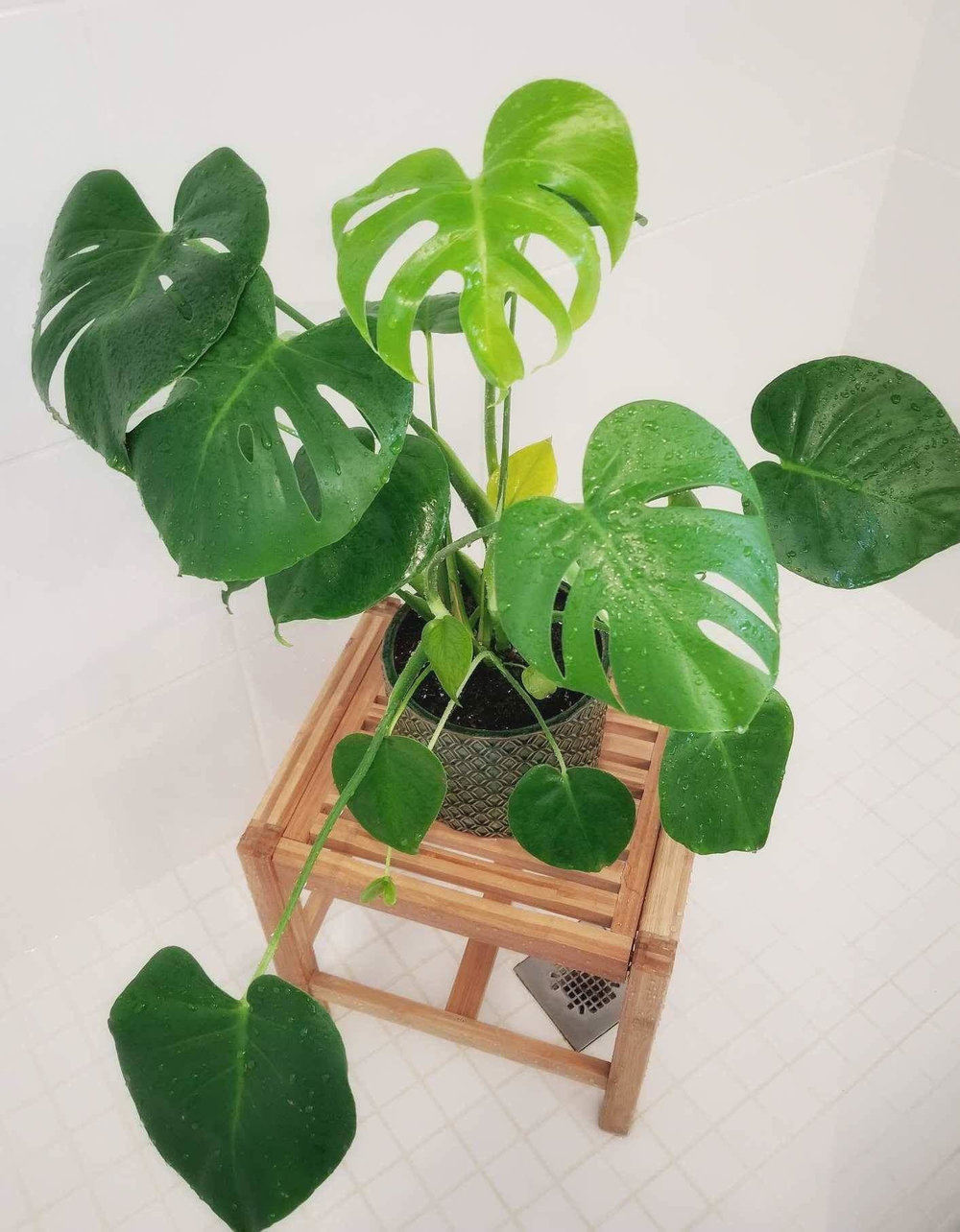 warm shower - Place plants in shower and use a protective tray or towel underneath to prevent dirt from going down drain. If space allows, temporarily relocate plants to bathrooms which are naturally higher in humidity during dry winter months. Photo credit Pam G.