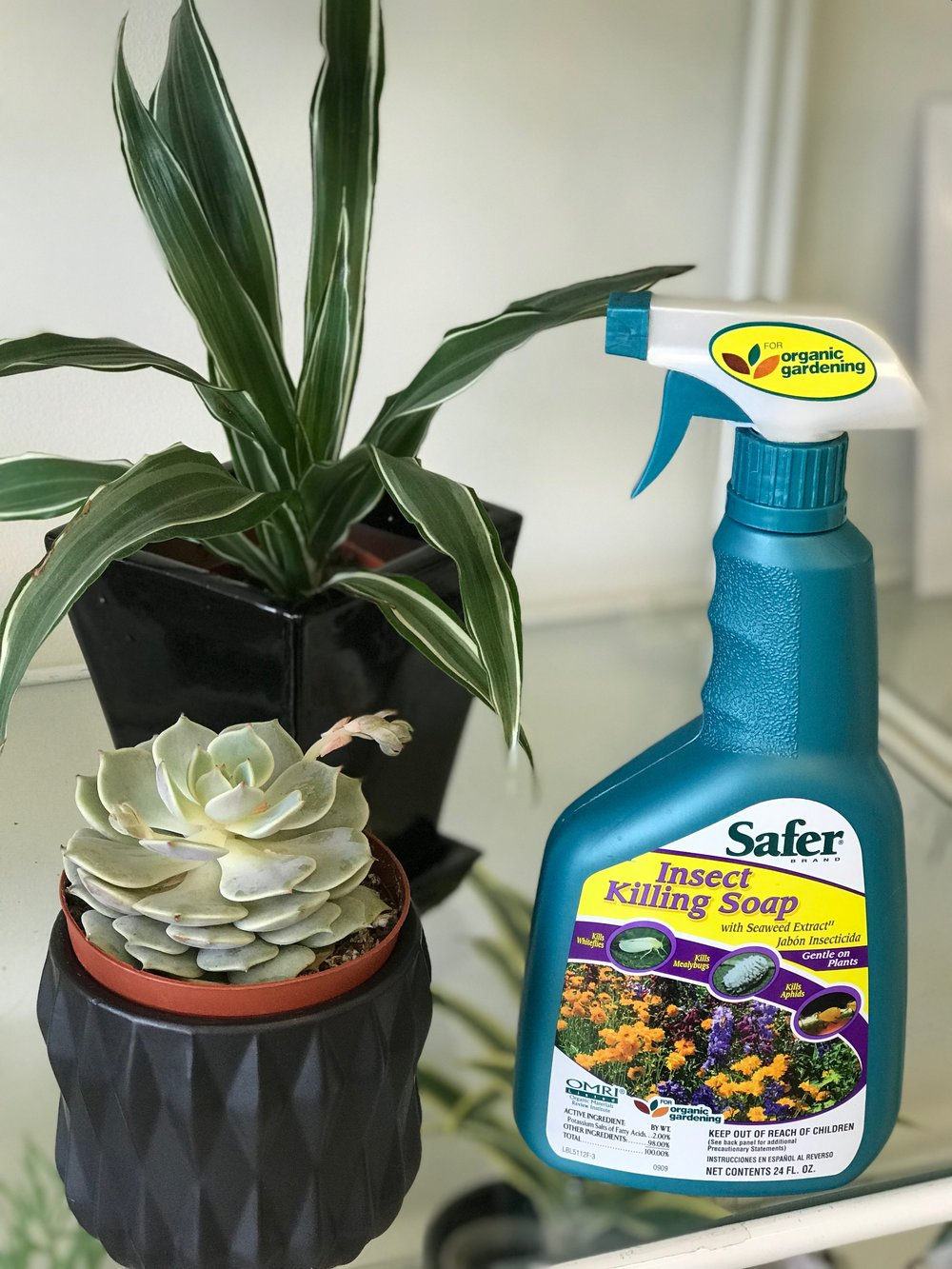 Homemade insect soap - Succulents are especially prone to mealy bug infestation. The active ingredient in this Safer brand soap is potassium. An easy homemade recipe is to combine 1 heavy tablespoon Dr Bronner's Castile soap and 1 qt tap water in a spray bottle. Apply weekly for 2-3 weeks until no more bugs are visible.