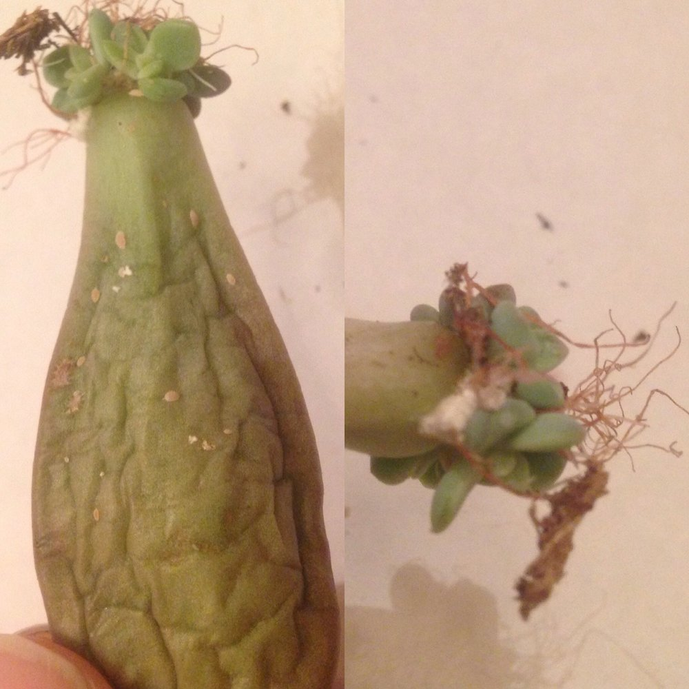 mealy bugs - Mealies are soft-bodied tiny caterpillar-like bugs that create nests resembling a cotton-y mass.