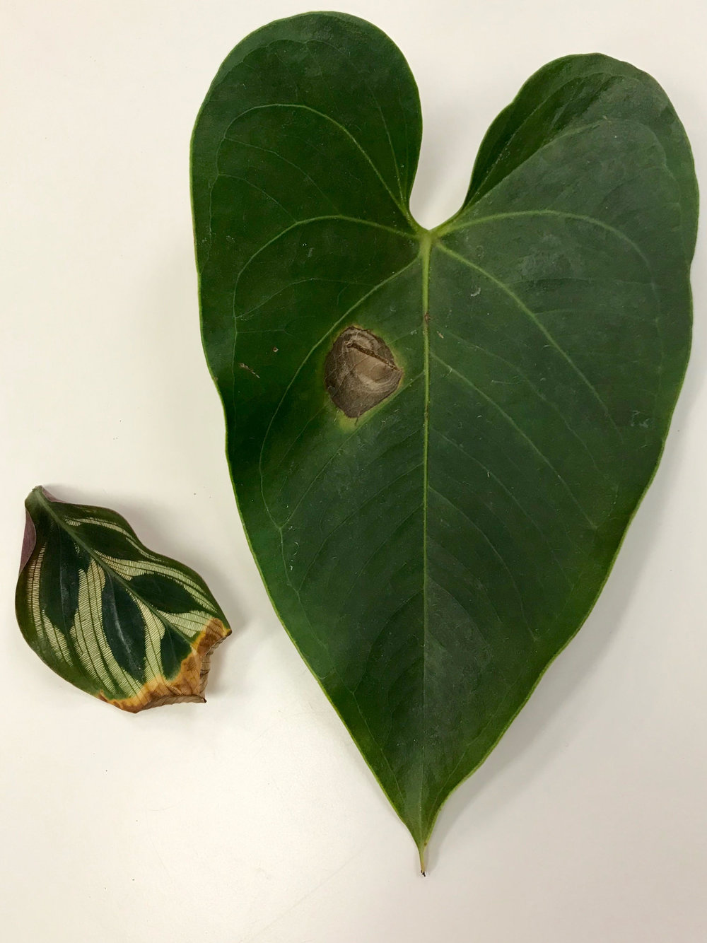 Browning - Brown edges or tips is a sign of dryness as shown in the calathea leaf on the left. Increase humidity to avoid crispy leaves. (see suggestions in last month's post)The large anthurium leaf on the right has a brown spot originating in the middle of the leaf, a sign of fungus. This leaf should be cut off immediately to avoid spread to the rest of your plant. The plant will thank you by producing a healthy new leaf very soon!