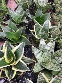 1. Snake plants or sansevieria - Though snake plants thrive in bright light generating more pronounced variegation and faster growth, they can survive in low light. The variety of striking horizontal or vertical striping will make it hard to choose. Shown is a Bird's Nest formation.