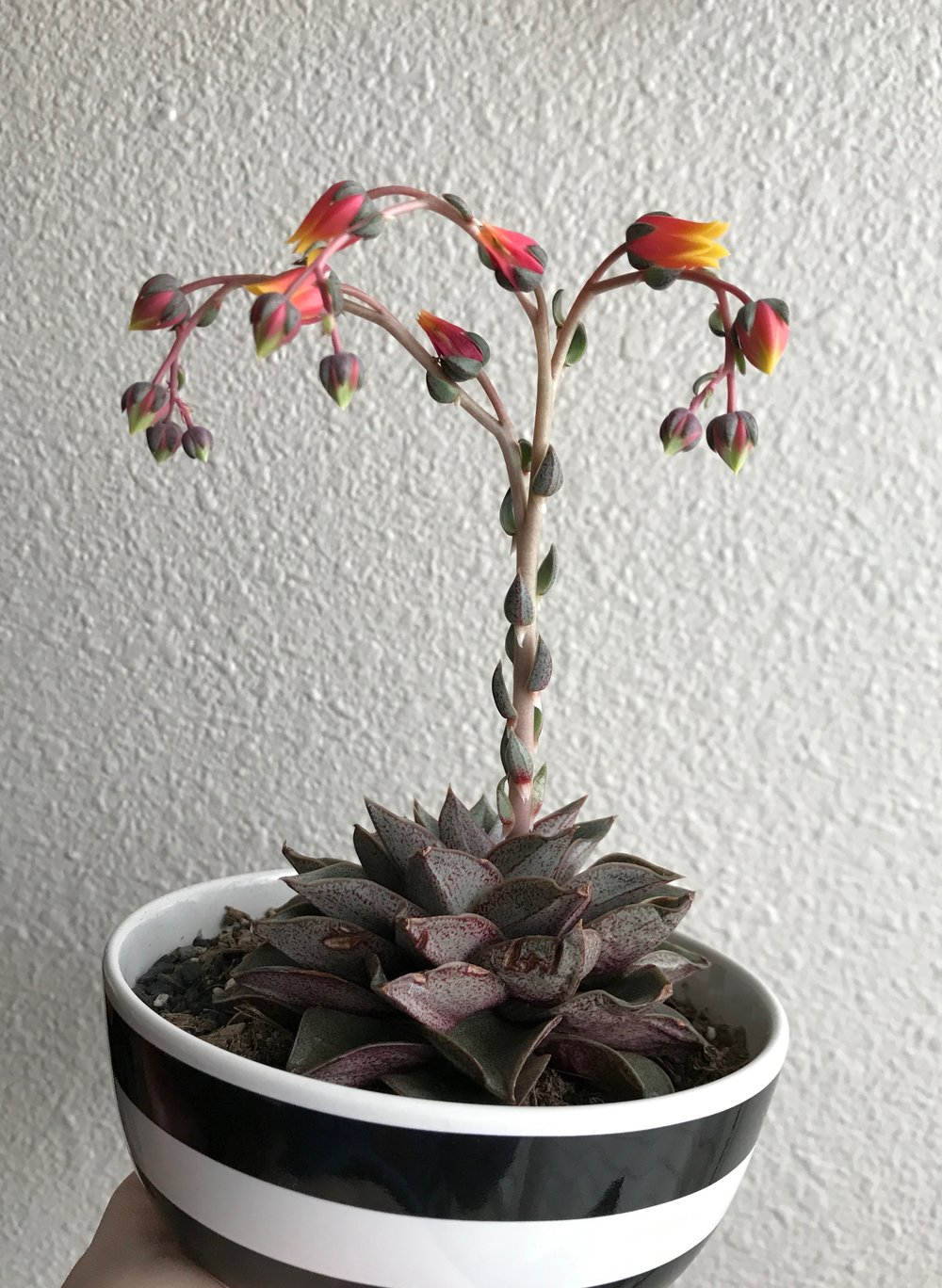 what about succulents? - Succulents and cacti require a lower concentration of N-P-K as their leaves are more water cells than leaf cells. Look for nitrogen less than 2.(shown: Echeveria Purpusorum)