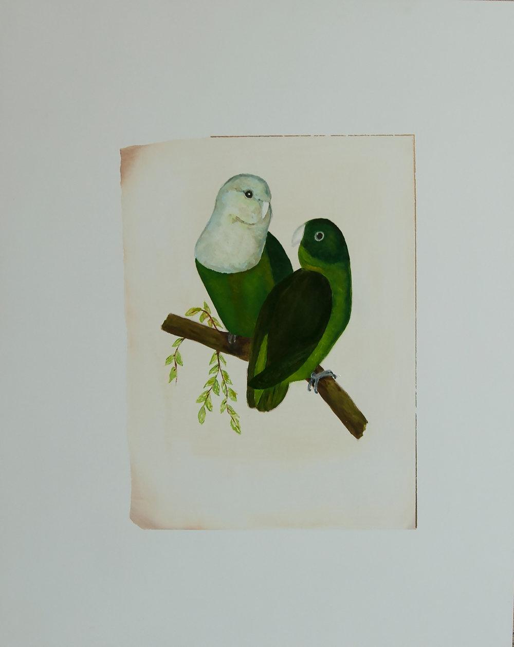 Grey-Headed Love Birds