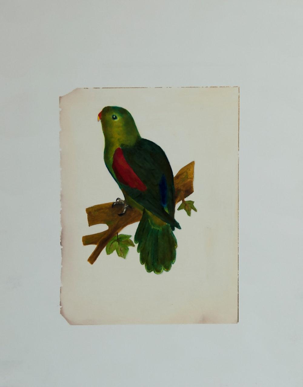Red-Winged Parakeet