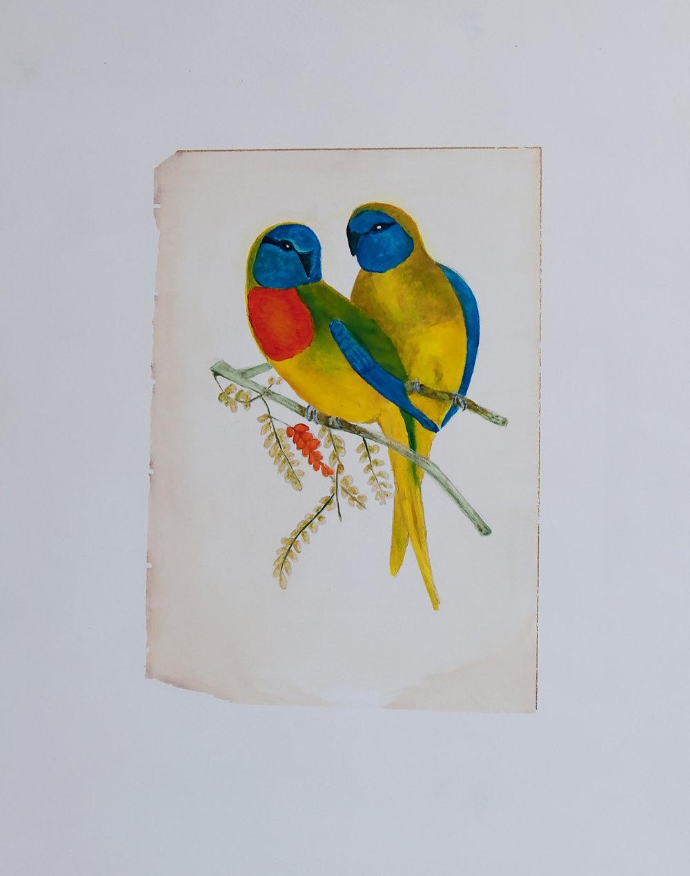 Splendid Parakeet