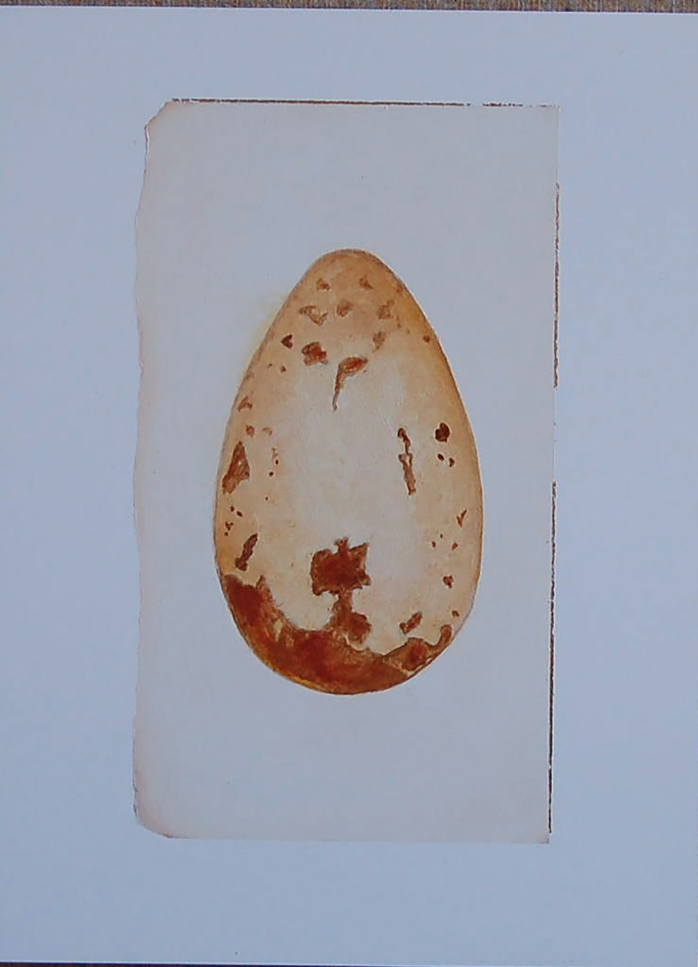 FalconeAuk egg