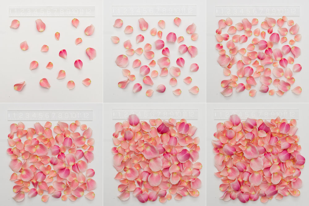 How many rose petals do you need to create your dream rose petal aisle for your wedding ceremony?