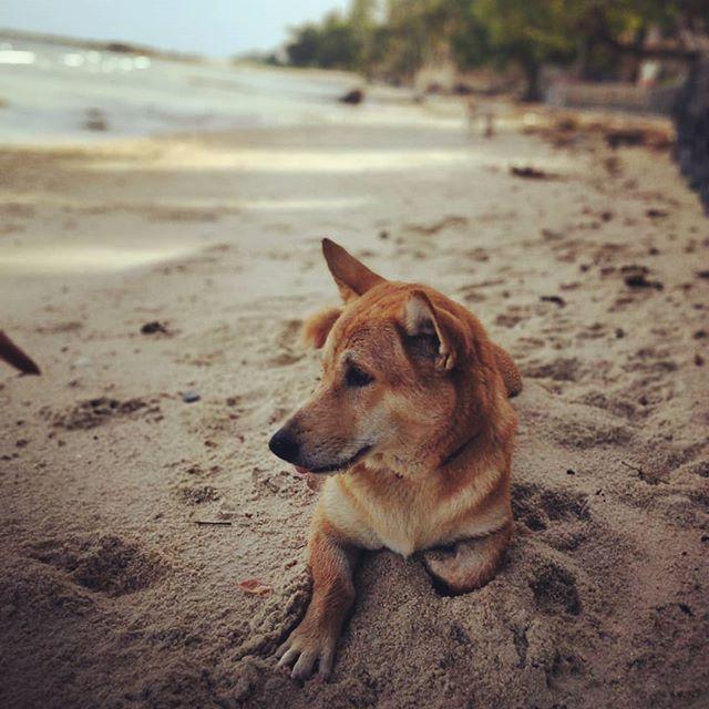 Beach doggo chillin like a villain.  #dogsofinstagram #beachholiday #wanderlust #lamaibeach #kohsamui #travelphotography #ohsoblue #thailand