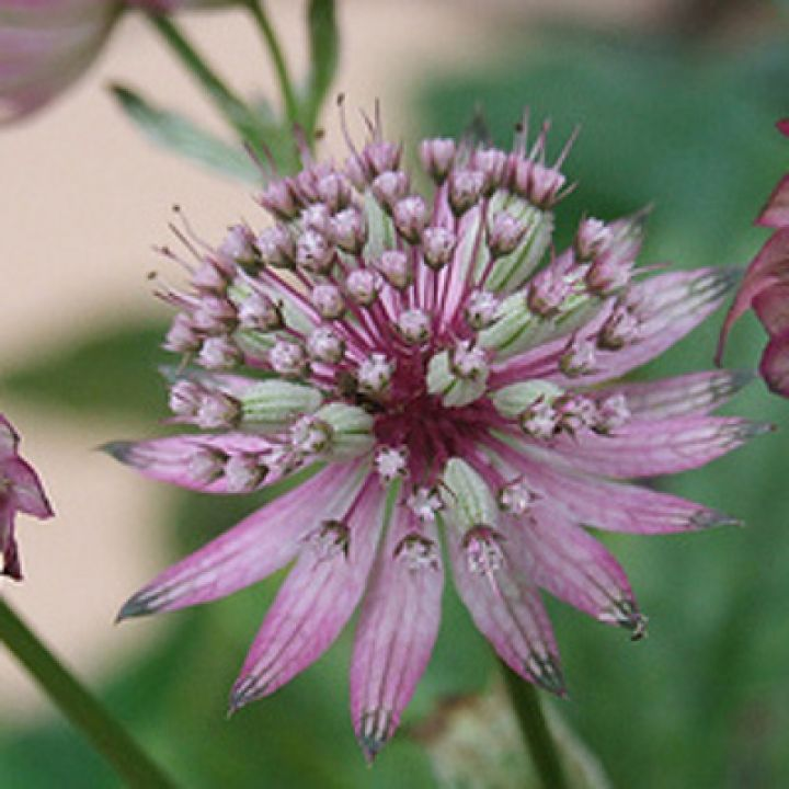 astrantia major abbey road.jpg