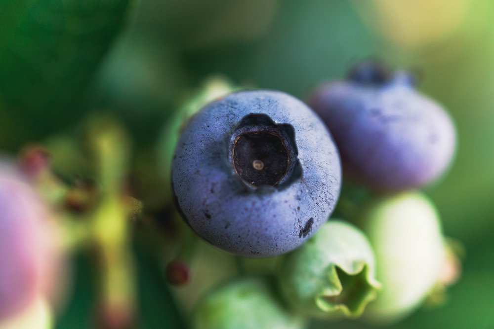 Blueberry Picking Adventure-22.jpg