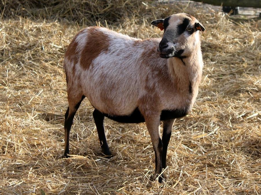 Farm-Animals-Nature-Goat-Animal-Hay-Kennel-3042606.jpg