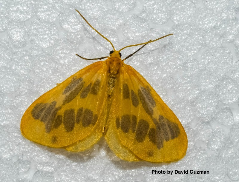 GuzmanD_lep-moth1-duntrune-2018-800x610.jpg