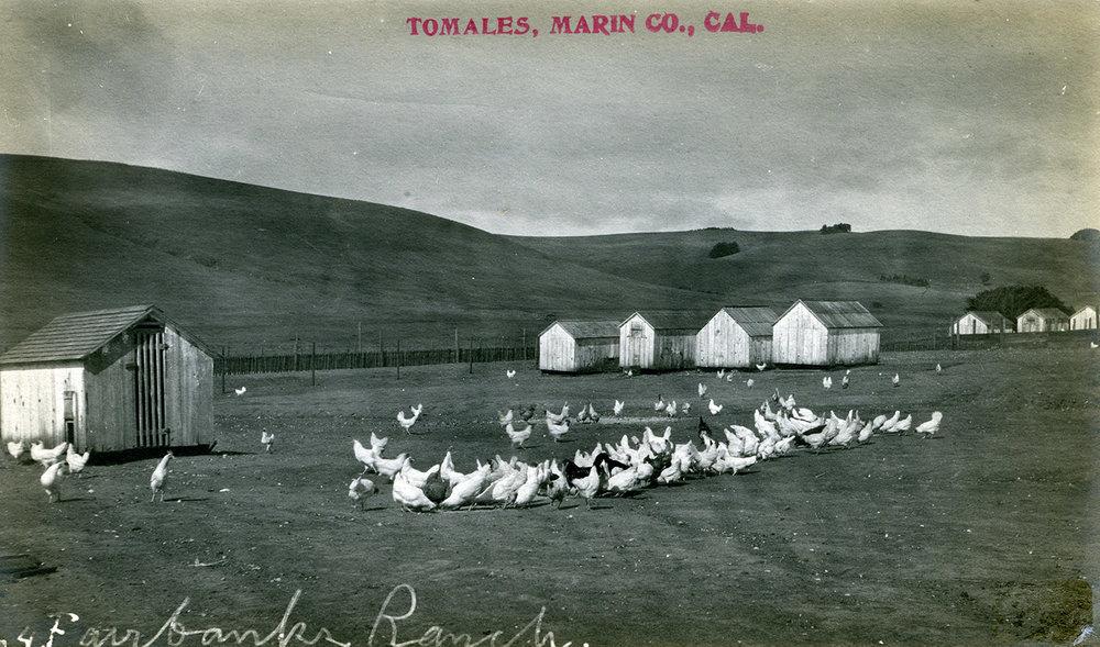 Fairbanks Chickens