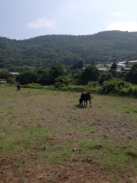 オリーブ牛さんも放牧中