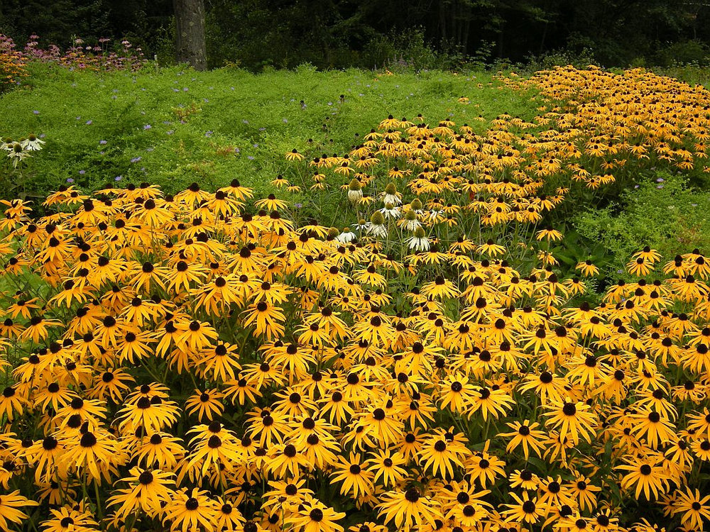 "A pollinator meadow planted in drifts of native black-eyed Susans, coneflowers (""White Swan"" and ""Magnus"") and asters (""October Skies""), in South Berwick, Maine. PHOTO: Green Art"