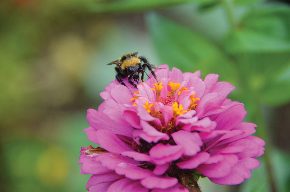 A bee feasts on a zinnia at the Coastal Maine Botanical Gardens (photo courtesy of CMBG)