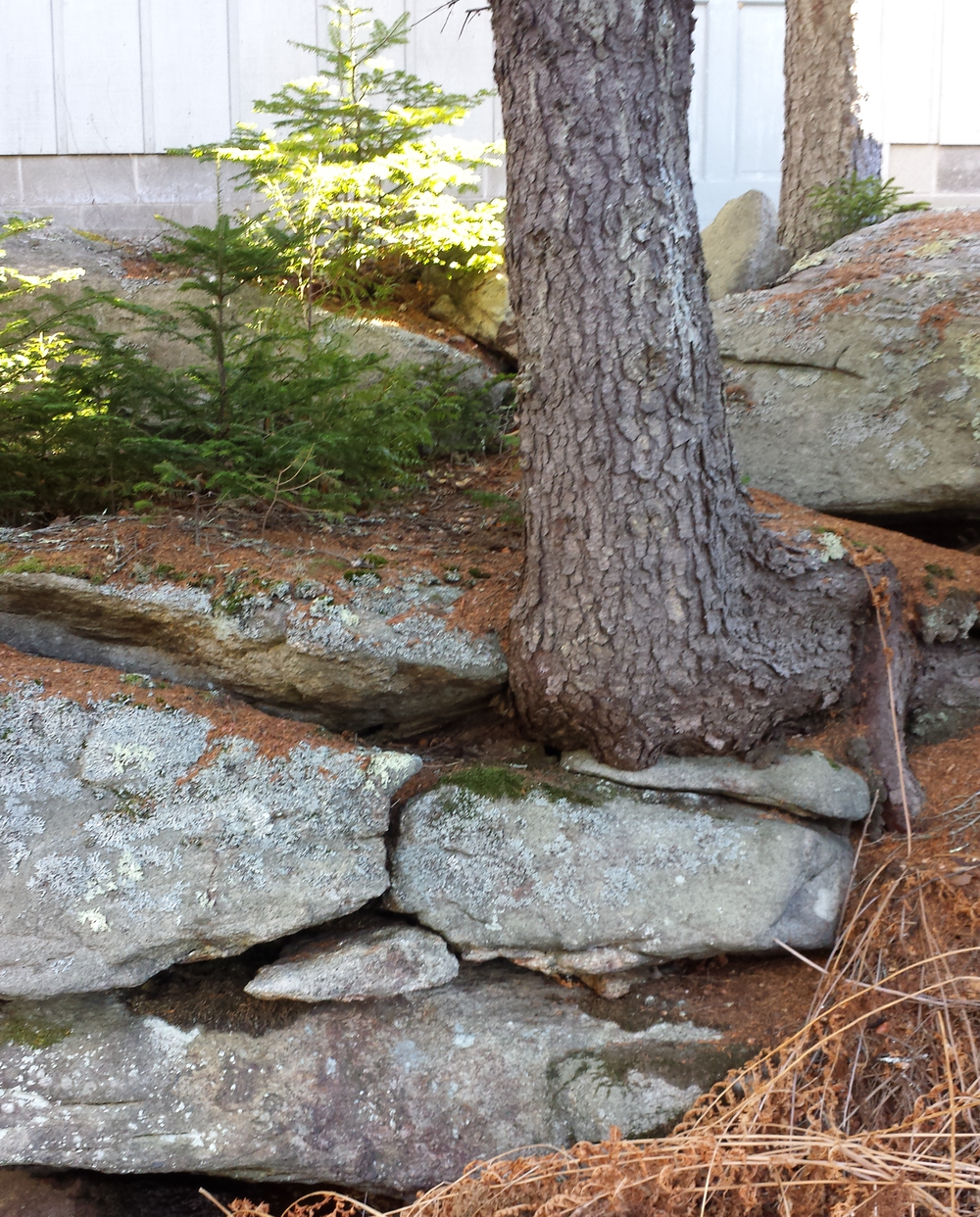 Trees, with enough resources, will grow in almost any location, as this tree growing out of a stone wall in Maine demonstrates. Photo: Topher Belknap