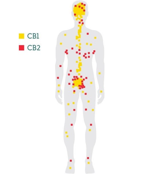 Map of CB1 and CB2 receptors. Click to enlarge.