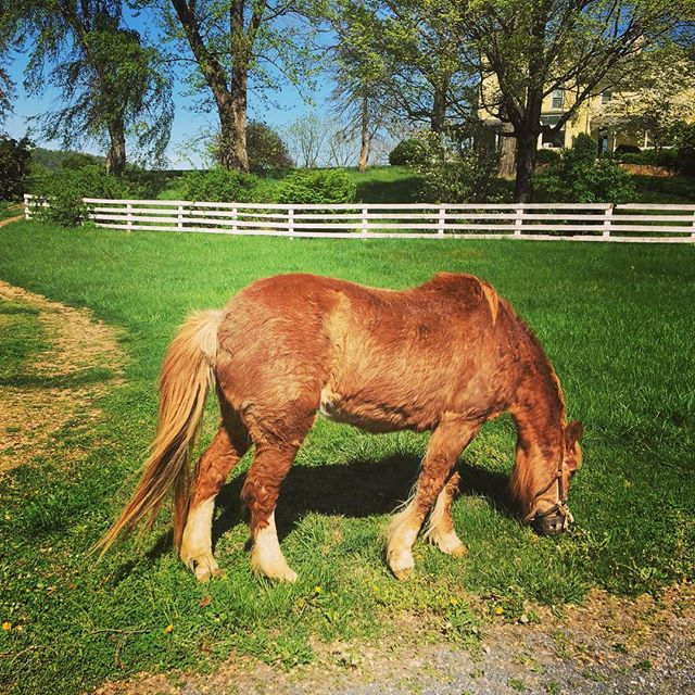 Farm livin' is the life for me!  You never what you'll find in your front yard 🤠 #thatsnotmypony #knowyourrancher #visitrappahannockva #greenacres