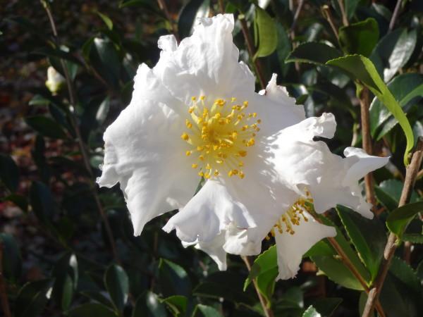 Paul's Camellia Bush 3