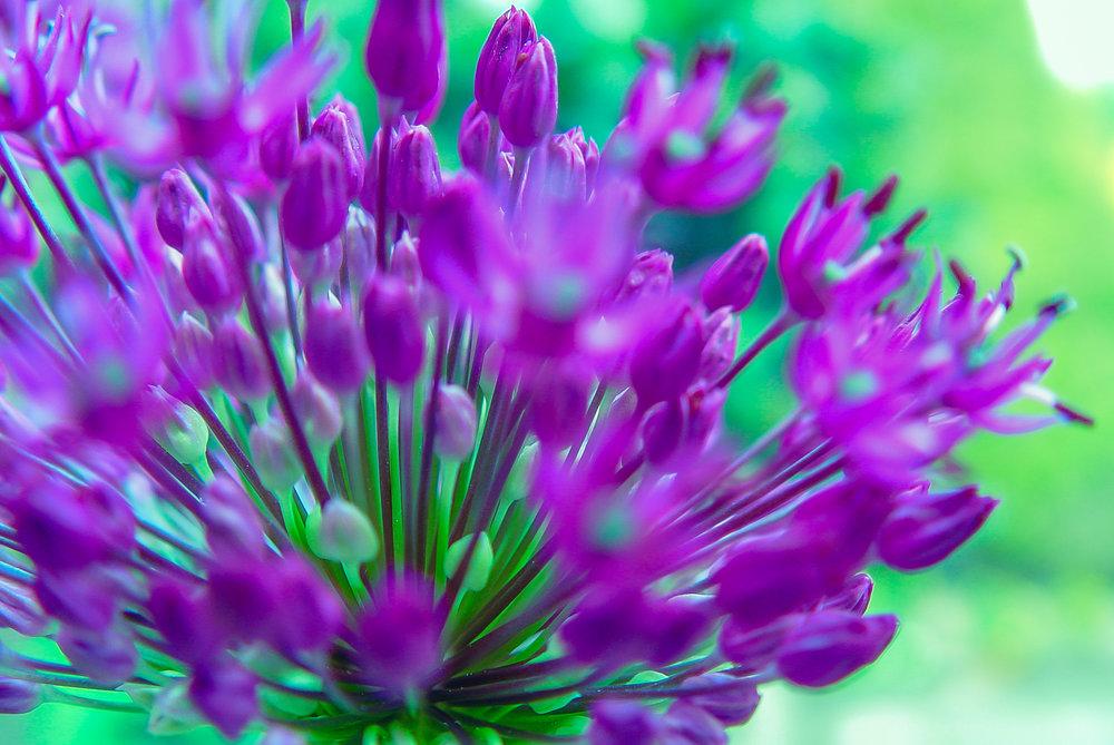 Agapantus, flower