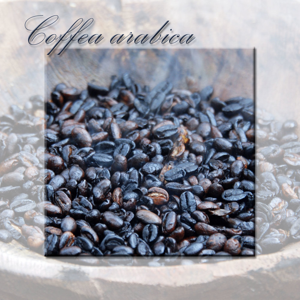 Coffea arabic.jpg