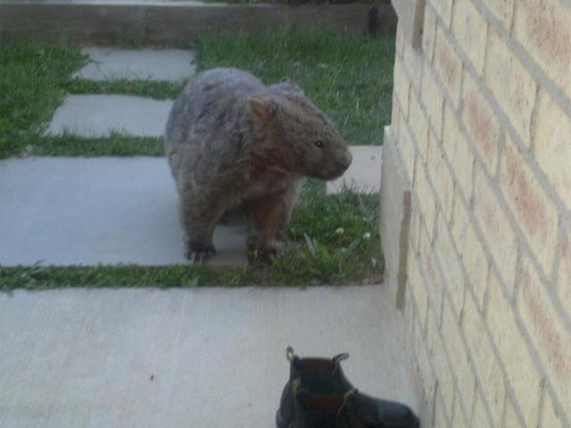 A wombat making an unusual house call one eveing at our neighbours place. They usually don't come out till after dark.