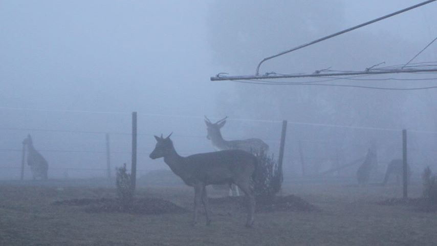 Deer in Royalla