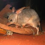 512px-Bilby_at_Sydney_Wildlife_World