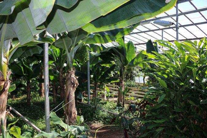 greenhousebanana2.jpg