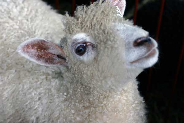 sheep-close-up.jpg