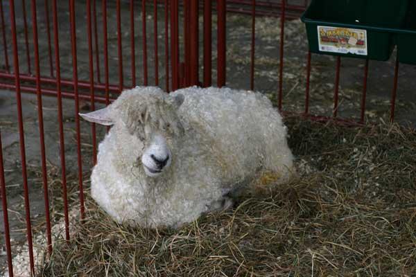 sheep-4322.jpg