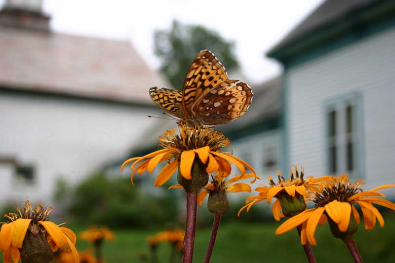 Ligularia-rocket-Laura-Hall-Briedis.jpg