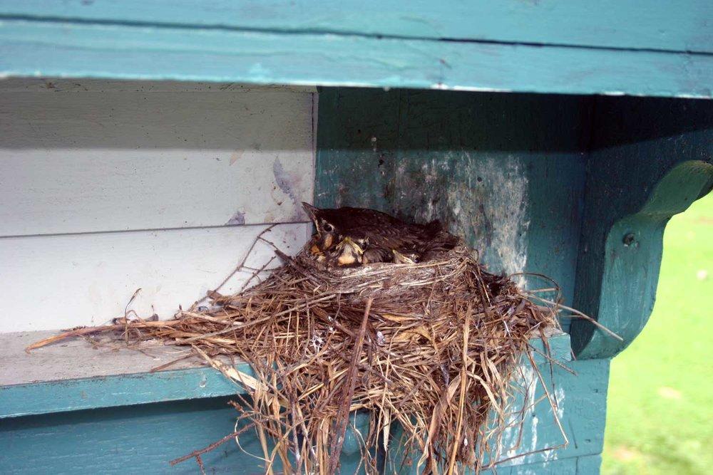 baby-birds-Laura-Hall-Briedis.jpg