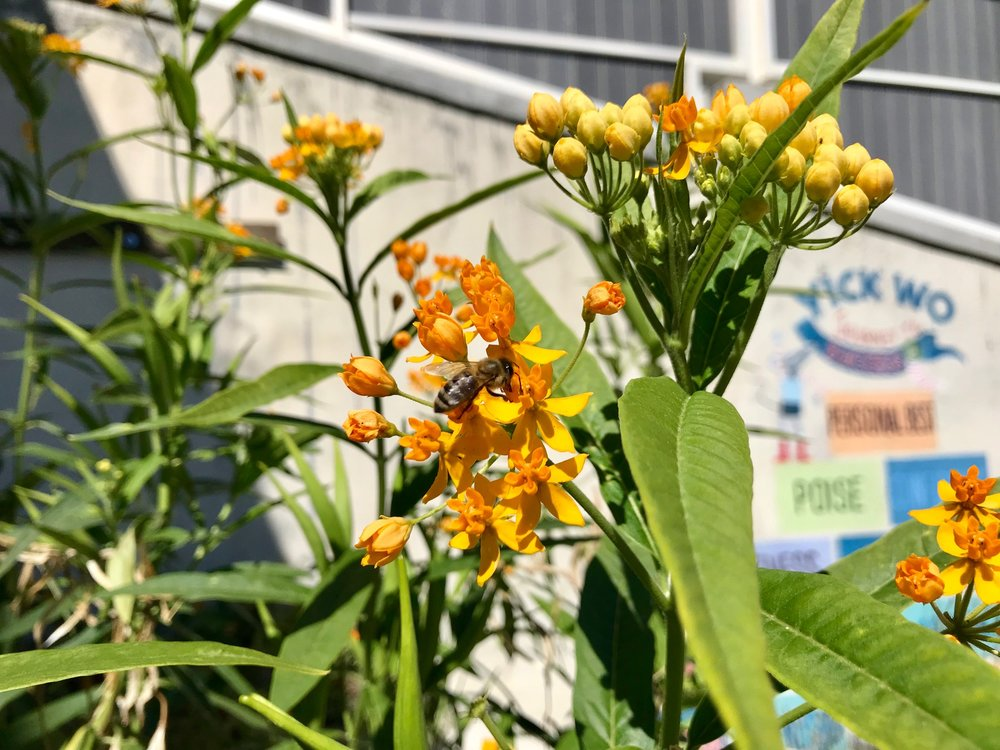 bee on milkweed.jpg
