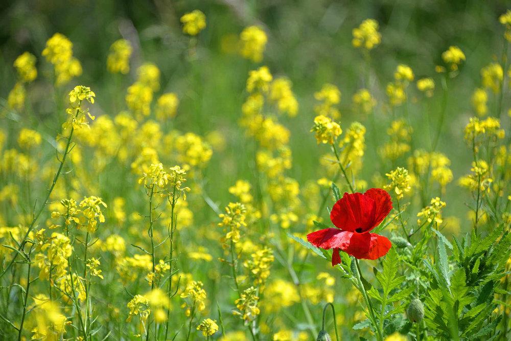 poppy-1819645_1920.jpg