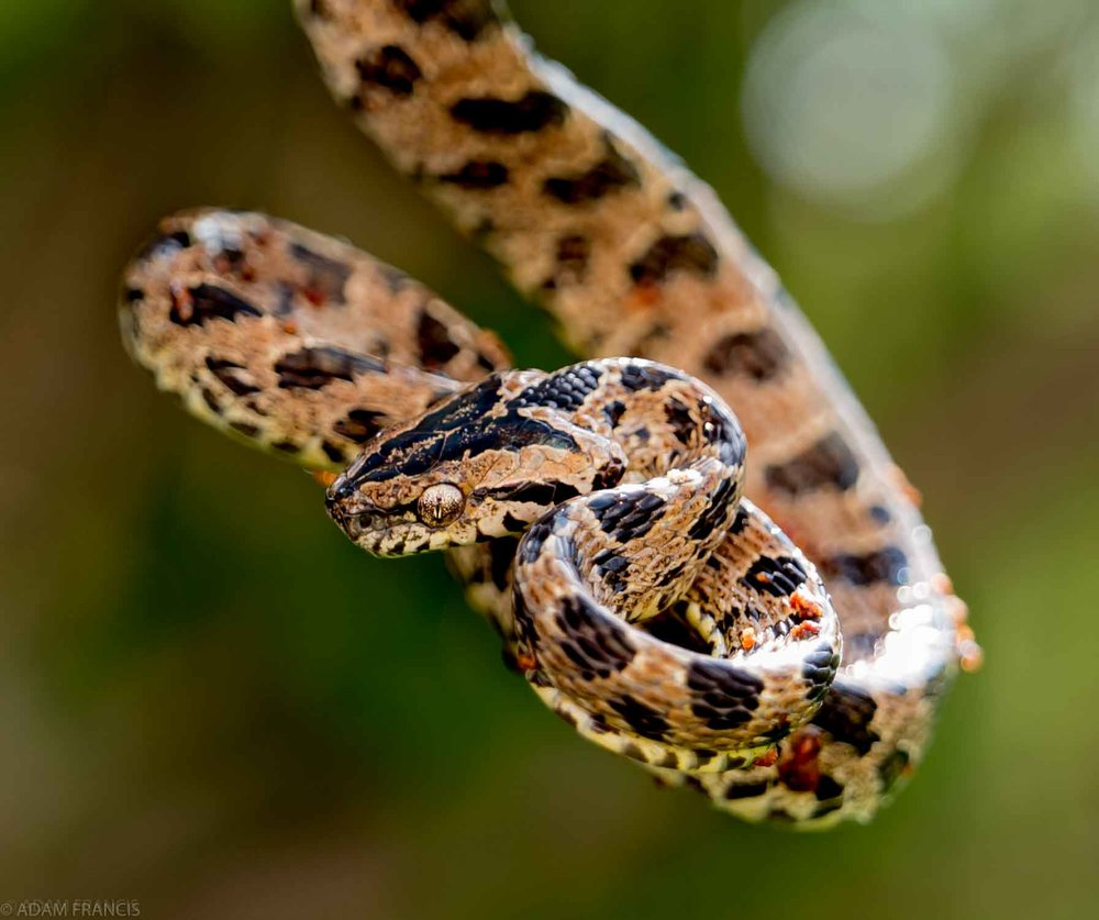 Large Spotted Cat Snake - Boiga multomaculata