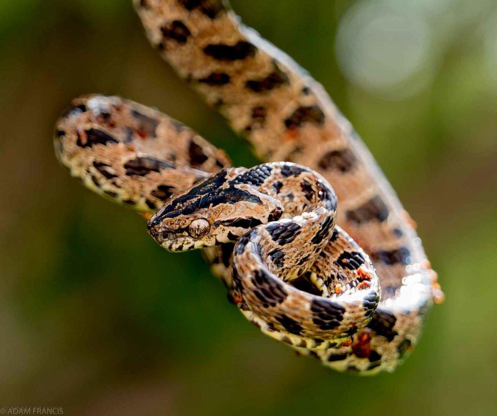 Large Spotted Cat Snake - Boiga multomaculata