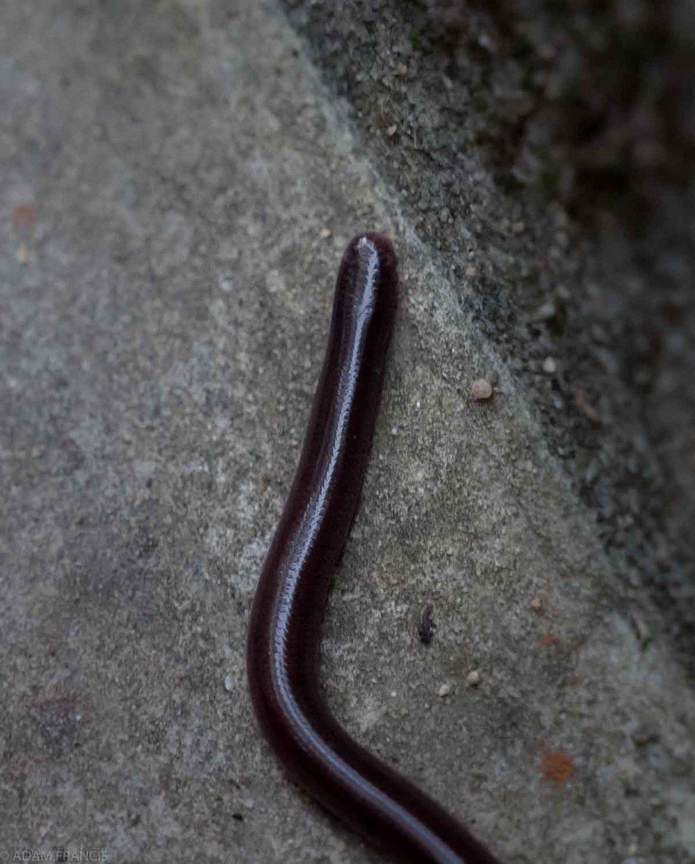 Common Blind Snake - Indotyphlops braminus