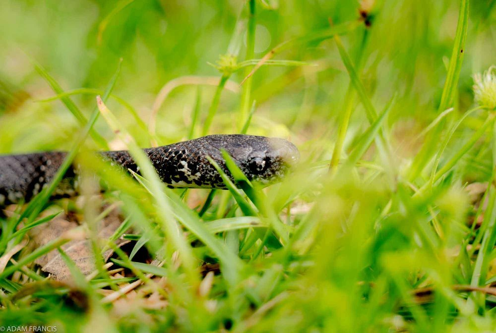 Copy of White Spotted Slug Snake