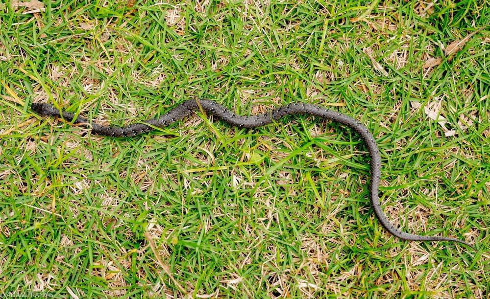 White Spotted Slug Snake - Pareas margaritophorus