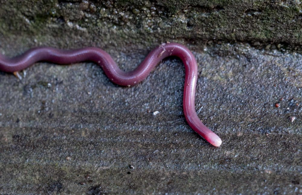 White-headed & Lazell's Blind Snake