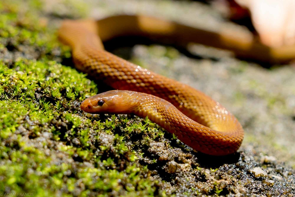 BURROWING RUFOUS SNAKE