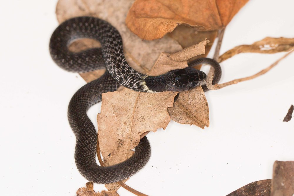 Copy of Red Neck Keelback - Juvenile Melanistic