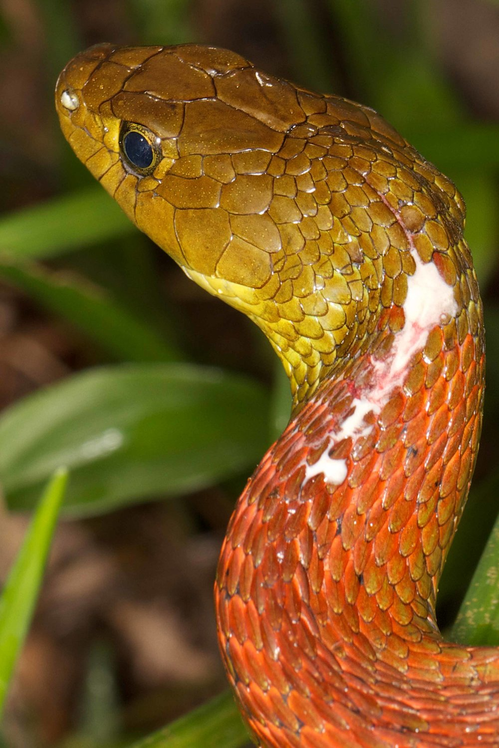 Copy of Red Neck Keelback - Poison Secretion