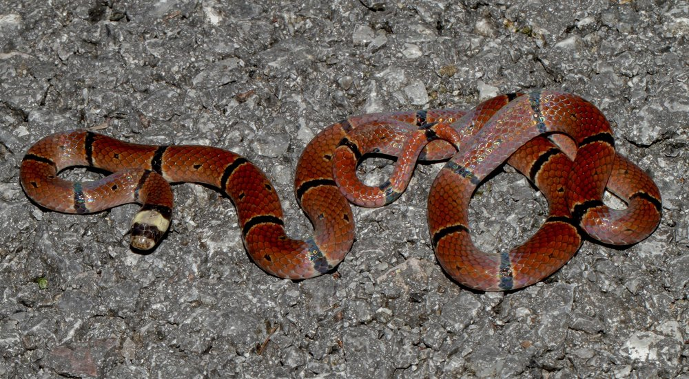 珊瑚蛇/麗紋蛇 - Photo credit: Dan Rosenberg