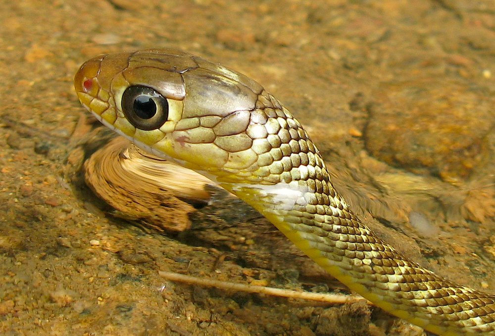 Copy of Into Chinese Rat Snake - Juvenile